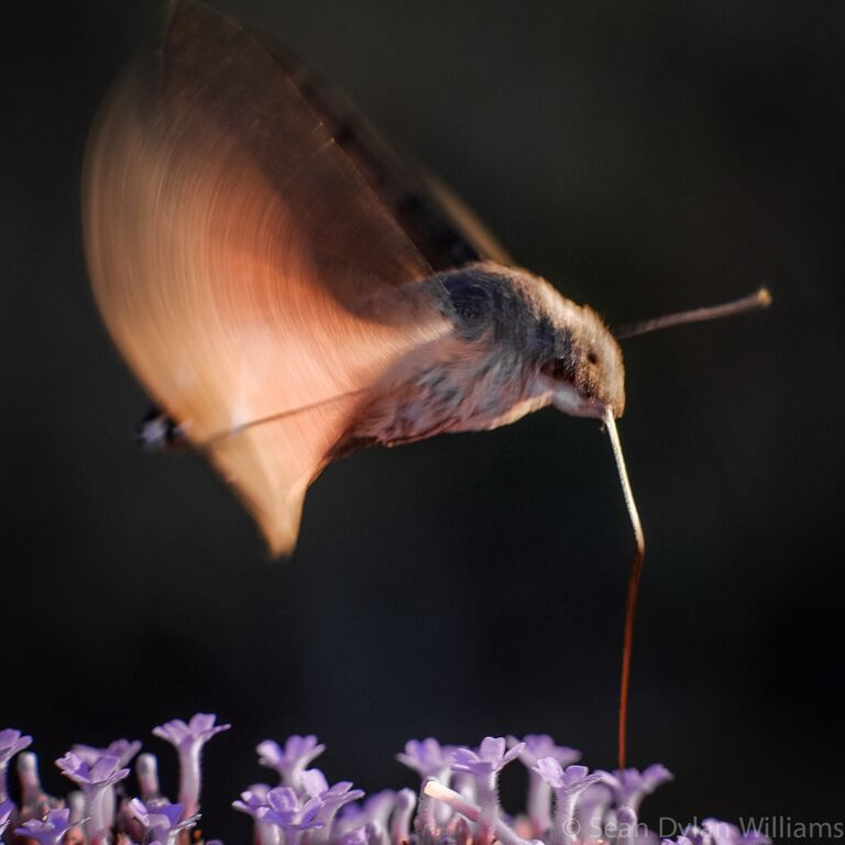 Hover Moth by Sean Dylan Williams, UTLT, Charente, France