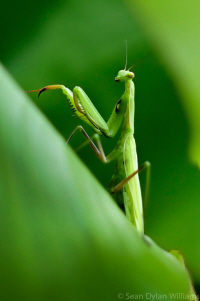 Praying Mantis by Sean Dillan Williams, UTLT, Charente, France
